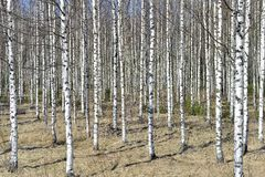 Grove of the White Birch trees Stock Photo