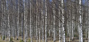 Grove of the White Birch  trees  in spring Royalty Free Stock Image