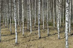 Grove of the White Birch  trees  in spring Stock Image