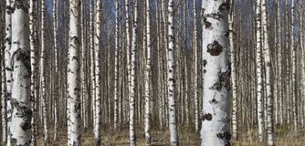 Grove of the White Birch  trees  in spring Stock Photos