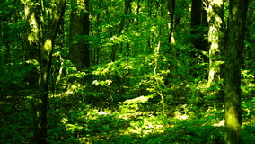 Grove, woods forest, trees background, green nature landscape,august, pan