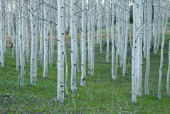 Grove of Young Aspens Stock Photos