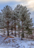 The grove of young pines in winter. On a background of dark blue sky, vertical shot Royalty Free Stock Photography