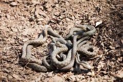 Groviglio dei serpenti Fotografia Stock Libera da Diritti