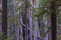 Groviglio di bei alberi di vecchia crescita nel campeggio di Ohanapecosh Fotografia Stock