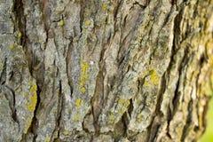 Grovt skäll på ett träd Arkivfoto