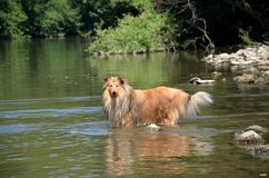 Grovt spela för collie i floden Royaltyfri Foto