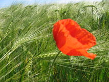 Grow. Poppy flower royalty free stock images