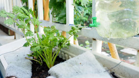 Grow coriander in a pot andanging on the iron fence in the house Royalty Free Stock Image