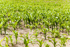 Grow green maize Royalty Free Stock Images