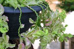 Slipper flower, Redbird cactus. Grow from a hanging pot Royalty Free Stock Photo