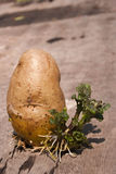 Grow potatoes Royalty Free Stock Photography