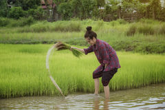 Grow rice. Young farmers grow rice in the rainy season Royalty Free Stock Photo