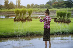 Grow rice. Young farmers grow rice in the rainy season Royalty Free Stock Photography