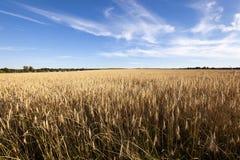 grow ripe rye. Stock Photos