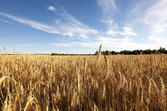 Grow ripe rye. Royalty Free Stock Images
