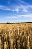 Grow ripe rye. Stock Photo