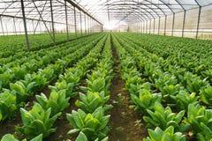 Grow salad in greenhouse Stock Photos