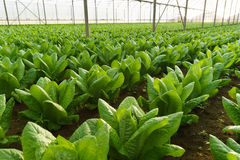 Grow salad in greenhouse Stock Photo