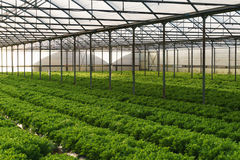 Grow salad in greenhouse Royalty Free Stock Images