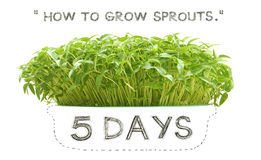 Grow sprouts 5 days font view Royalty Free Stock Image