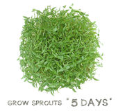 Grow sprouts 5 days top view Stock Photos