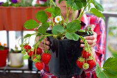 Free Grow Strawberries At Home On The Balcony In Pots. Strawberry Bush With Berries To Hold In Hands. Gardening, Farming. Harvest Royalty Free Stock Photos - 183940838