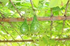 Grow sturdily gourd Stock Photography