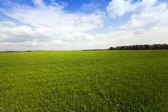 Grow up cereals. Agricultural field on which grow up cereals Stock Photo