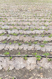 Grow up young salad  Rows of Agricultural farming  field, landsc Royalty Free Stock Images