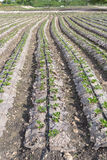 Grow up young salad  Rows of Agricultural farming  field, landsc Stock Photo