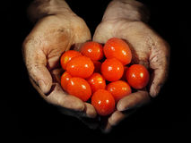 Grow your own. Dirty hands holding tomatoes covered with waterdrops  (low key photo Stock Photography