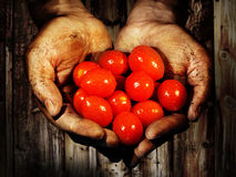 Grow your own - dirty hands holding tomatoes after harvesting. Photo shows dirty hands holding tomatoes after harvesting in front of wooden background Stock Photo