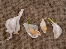 Grow your own garlic, cloves growing on hessian background. Gardening, horticulture. Grow your own garlic, cloves growing on hessian. Gardening, horticulture royalty free stock photos