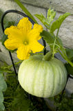 Grow your own pumpkin Stock Photography