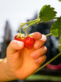 Grow your own strawberries Stock Photo