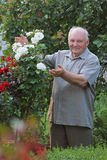 Grower of roses. Old man - grower of roses next to rose bush in his beautiful garden Stock Photo