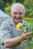Grower of roses. Old man - grower of roses next to rose bush in his beautiful garden Royalty Free Stock Images