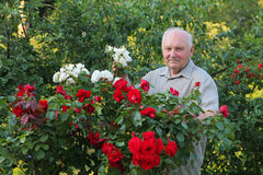 Grower of roses. Old man - grower of roses next to rose bush in his beautiful garden Stock Photos