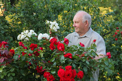 Grower of roses. Old man - grower of roses next to rose bush in his beautiful garden Royalty Free Stock Photo