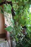 Growes de la vid en mi jardín orgánico foto de archivo libre de regalías