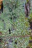 Growi πολλών μικρών πράσινων λειχήνων φλυτζανιών και λειχήνων διαβόλων ` s Matchsticks Στοκ Εικόνες