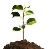 Growing. Green plant in soil Stock Photos