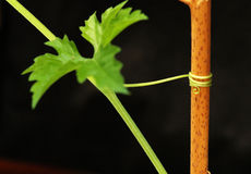 Growing. It is a growing plant, with vine Royalty Free Stock Photos