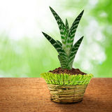Growing aloe vera Stock Photo