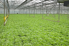 Growing andive plants in glasshouse Stock Image