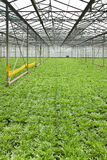 Growing andive plants in glasshouse. Monoculture of Andive plants growing in glasshouse in summer - vertical Stock Image