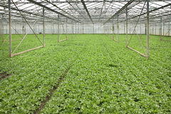 Growing andive plants in glasshouse Stock Photography