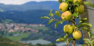 Growing Apple Stock Photo