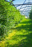 Growing of apple in greenhouse with opened sky Stock Photography